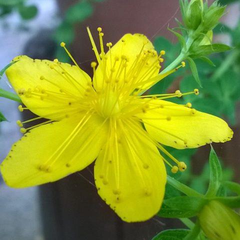 Fiore di Iperico Ricetta olio di iperico VisitIspica